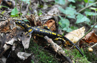 Salamandre à la Gourgue d'Asque